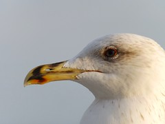 Portraits of seagulls (eugenio.mosca) Tags: seagull white feathers portrait bird orange gabbiano bianco arancione piume fujifilm sl260 finepix eye occhio
