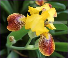 Iris (sh10453) Tags: oakpark michigan usa macro iris canon