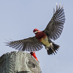 Inflight Red-breasted Sapsucker (nickinthegarden) Tags: redbreastedsapsucker columbiavalley cultuslake chilliwackbccanada