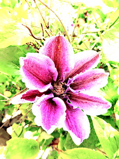 Oh My Darling Clematis