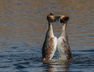 Great Crested Grebes - togetherness