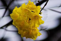 Brazilian Ipé-amarelo 1 (C & R Driver-Burgess) Tags: yellow blossom flower tree silhouette spar