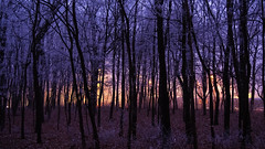 (Botond Pataki) Tags: nature landscape forest tree trees winter evening night bole trunk frost cold color colors yellow orange purple violet blue dark shadow light lights