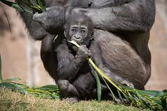 Little Leslie (ToddLahman) Tags: leslie littleleslie gorilla baby babygorilla westernlowlandgorilla sandiegozoosafaripark safaripark canon7dmkii canon canon100400 lunch mammal outdoors