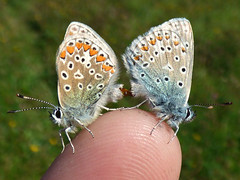The finger of love (Peanut1371) Tags: insect butterfly butterflie commonblue mating finger bugporn nationalgeographicwildlife