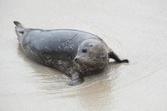 Young Harbor Seal (LisaDiazPhotos) Tags: la jolla san diego young harbor seal childrens pool lisadiazphotos