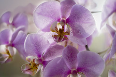In full bloom! (Elisafox22 slowly beating the Shingles!) Tags: elisafox22 sony a58 helios442 helios madeinussr 258 8blade vintagelens sunshine backlit 52in2017 week14 infullbloom orchid pink pinkorchid petals blossom elisaliddell©2017