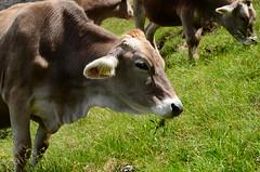 DSC_4891 (marcus.liefeld) Tags: italien alpen dolomiten südtirol gröden langkofel sassolungo kuh