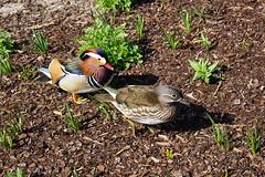 Mandarin Duck / Mandarinente / Aix galericulata (Mc Steff) Tags: mandarinduck mandarinente aixgalericulata duck ducks ente enten mandarin