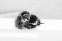 -()- (dagomir.oniwenko1) Tags: kitten animals blackandwhite bw mono canoneos60d canon