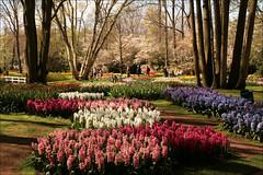 Keukenhof (TeunisHaveman) Tags: lisse keukenhof flowers flower bloem bloemen bollenvelden garden tuin park hyacinth bulbflowers tulp zuidholland modrian rietveld
