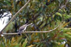 Noisey Minor (Manoo Mistry) Tags: nikon nikond5500body nature tamron18270mmzoomlens tamron outdoor parks botanicalgarden botanical royalbotanicalgarden sydney australia birds noiseyminor fly trees