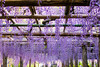 DSC_1618 (sayo-tsu) Tags: 藤 wisteria 牛島のフジ 春日部市 埼玉県 kasukabe saitama 特別天然記念物