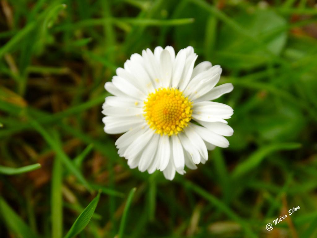 Águas Frias (Chaves) - flor campestre ... amor sim ... amor não ...