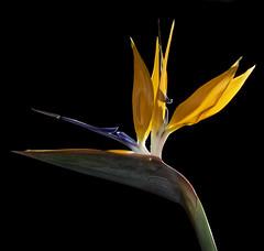 Bird #9073 (Bill Gracey 15 Million Views) Tags: fleur flower flor birdofparadise color colorful orange blue green offcameraflash yongnuo trigger backlit softbox homestudio glowing glow blackbackground macrolens tabletopphotography