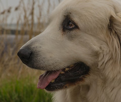 Pyrenean Mountain Dog (frankmh) Tags: animal dog pyreneanmountaindog lerberget skåne sweden outdoor