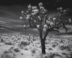 Loma (eCHstigma) Tags: blackandwhite bnw bw monochrome infrared ir outdoor hike nature desert hill sky clouds fuji fujifilm xseries xe1 xf24mmf14r landscape joshuatree yuccavalley california lifepixel 830nm