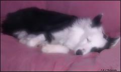 A little Softness Goes a Long Way (John Neziol) Tags: kjphotography bordercollie blackwhite sleeping pet dog animal pointynoseddogs splitfacedbordercollie splitface
