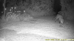 TrailCam219 (ohange2008) Tags: trailcam essexgarden foxes badger peanuts dogfood