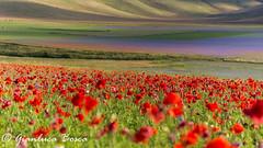 IMG_7594_1200 (gianlucabosca) Tags: castelluccio norcia lenticchia fioritura poppy