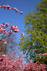 bloeiende japanse kerselaars in Leuven (Kristel Van Loock) Tags: oudebaan leuven louvain lovanio lovaina loveleuven seemyleuven visitleuven lente spring primavera printemps lente2017 spring2017 japansekerselaars blossoms blossom bloesems bloeiendejapansekerselaars blooming japanesecherrytrees cherrytreeblossom vlaamsbrabant vlaanderen visitflanders visitflemishbrabant visitvlaamsbrabant fiandre flanders flandre brabantflamand april2017 atleuven drieduizend leveninleuven pinkblossom pink rozebloesems oudebaanleuven belgium belgio belgique belgien belgië belgica springishere springisintheair springseason cherryblossom
