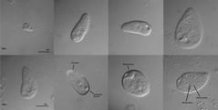 Woodruffia rostrata (Kahl 1931) (Picturepest) Tags: ciliaten ciliat wimperntierchen einzeller infusorien infusor protisten protist unicelluar protozoa protozoen protozoe plankton natur freshwater mikroskop mikrofotografie mikrofoto microscop microphotography micro mikro photomicrographie schwarzweis schwarzweiss sw blackwhite bw blackandwhite schwarzweisfotografie schwarzweissfotografie monochrome noir twit twart
