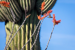 Hummingbird Enjoying the Spring Ocotillo Nectar (jeff_a_goldberg) Tags: saguarowesttucsonmountaindistrict bird wildlife saguarowest saguaro nature nationalparkservice nationalpark cactus arizona saguaronationalpark bajadaloopdrive hummingbird tucson unitedstates us ocotillo