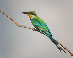 Swallow-tailed bee eater (rachelsloman) Tags: swallowtailedbeeeater bee eater bird wild kwai botswana