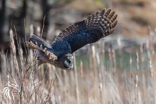 Great Grey Owl of the Adirondacks | 2017 - 7