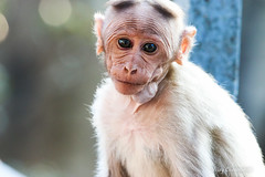 IMG_0813 (vijay_chennupati) Tags: tirumala tirupati andhrapradesh monkey india