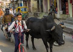 Trafico complejo (Nebelkuss) Tags: india asia uttarpradesh varanasi benarés tráfico traffic vacas cows bicicleta bicycle callejeras street fujixpro1 fujinonxf35f14