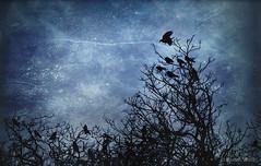The Rookery (shawn~white) Tags: shawnwhite bird birds blue dark dream magical mystery rook texture trees animal colours mood woodland rhiw wales unitedkingdom gb stars