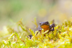 12032017-IMG_6947 (vincentadamo.com) Tags: triton alpèstre ichthyosaura alpestris salamandridae pleurodelinae tritone alpino alpine newt bergmolch alpenmolch amphibien