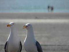 Babbling (babs van beieren) Tags: 7dwf fauna sunday seagulls beach sea ocean sand france psp animal animaux birds