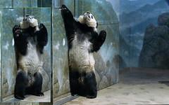 Bei Bei (What's a panda gotta do to get attention?) 2017-03-09 at 1.08 PM (MyFoto:)) Tags: panda cub vulnerable beibei mammals giantpanda ailuropoda melanoleuca smithsonian nationalzoo nature conservationdependent wildlife zoologicalgardens washington dc eating bamboo animalplanet