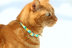 It's the little things... like colorful cat collars (Kerri Lee Smith) Tags: cats felines tabbies kitties mack gingercats gingertabbies orangecats orangetabbies collars catcollars snow winter pineapples itsthelittlethings explored