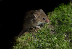 Harvest mouse (*steve booth) Tags: new forest field mouse uk macro wild life animal mammal cute close up moss spring harvest rodent