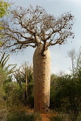 DSC07454_DxO_Bildgröße ändern (Jan Dunzweiler) Tags: madagaskar africanbikers reniale renialareserve jandunzweiler baobab affenbrotbaum