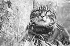 (Ewan Bellamy) Tags: yashica t5 tabby cat ilford fp4 plus 125 black white film