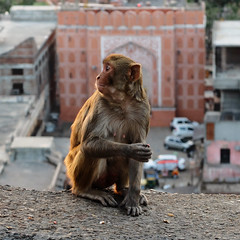 Jaipur temple des singes