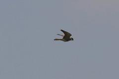 Peregrine Falcon, Dwesa GR, Eastern Cape, Dec 2016 (roelofvdb) Tags: 171 2016 date december dwesa dwesa16 falconperegrine falcons peregrinefalcon place southernafricanbirds year