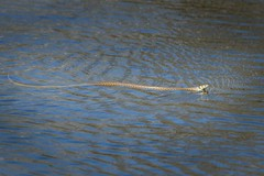 Grass Snake Swimming (DS Williams) Tags: woodwaltonfen thegreatfen bcnwildlifetrust natrixnatrix