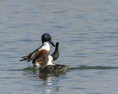 Hands off my woman—or else! (ardeth.carlson) Tags: ducks northernshoveler bird nature wildlife fossilcreekreservoirnaturalarea ftcollins colorado