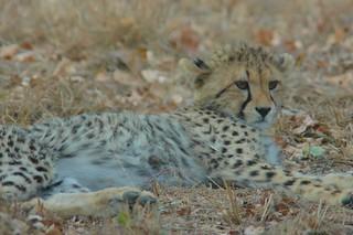 Young cheetah resting