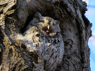 Petit-duc maculé / Eastern screech-owl / Otus asio /