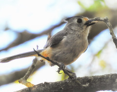 black-crested titmouse with seed (austindca) Tags: bird titmouse