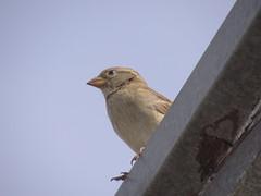 DSC00652 Pardal (familiapratta) Tags: sony dschx100v hx100v iso100 natureza pássaro pássaros aves nature bird birds novaodessa novaodessasp brasil