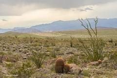 The living desert (Photosuze) Tags: landscape desert cactus cacti ocotillo mountains clouds sky california anzaborrego