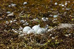 _MG_2735.jpg (Andre Hartman Fotografie) Tags: charadriushiaticula charadriidae bontbekplevier commonringedplover plevierencharadriidae