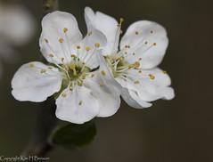 blossom time (kimbenson45) Tags: blossom flowers spring springtime white yellow petals stamens stigma outdoors nature closeup macro